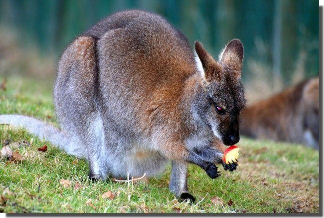 Le wallaby mange une pomme. [Source : <a href=